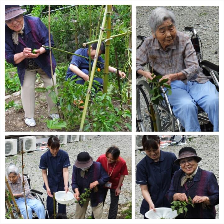 夏野菜の収穫(老人ホーム大宮司)1