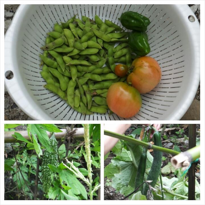 夏野菜の収穫(老人ホーム大宮司)2